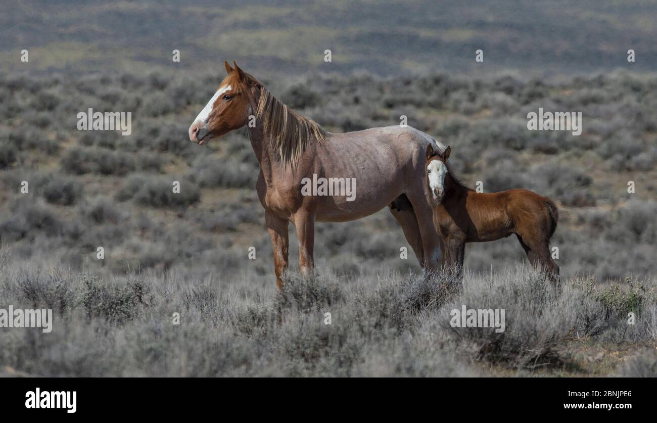 Red Roan High Resolution Stock Photography And Images Alamy