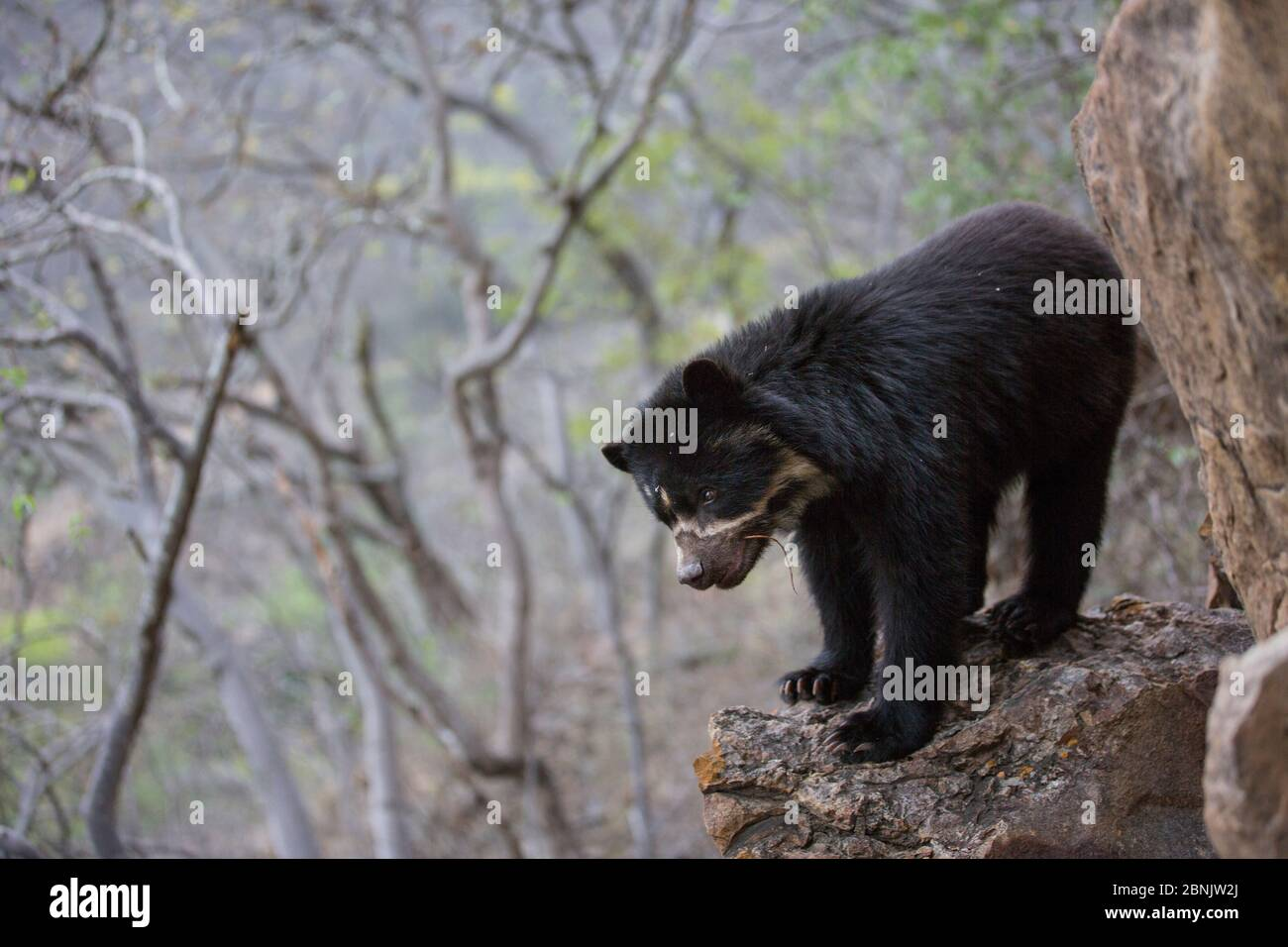 Spectacled bear (Tremarctos ornatus) Chaparri Ecological Reserve, Peru Stock Photo