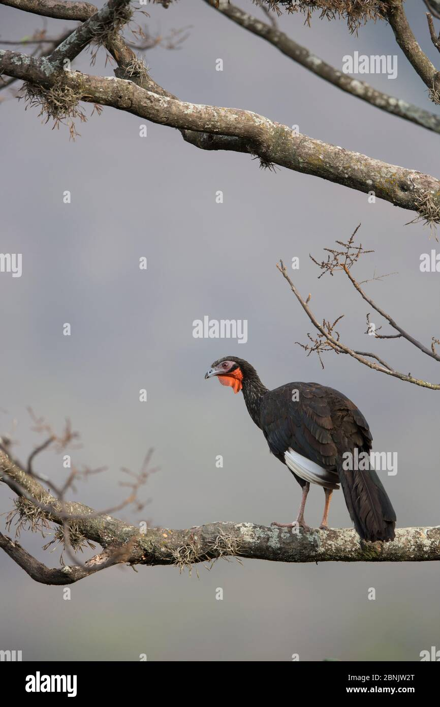 White-winged guan (Penelope albipennis) Chaparri Ecological Reserve, Andes, Peru Stock Photo