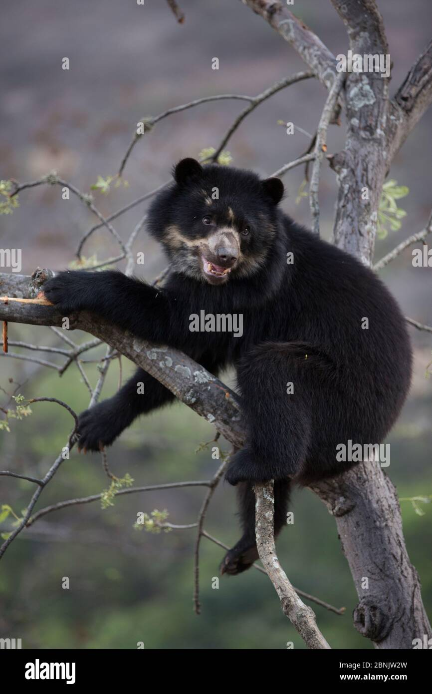 Spectacled bear (Tremarctos ornatus) up tree, Chaparri Ecological Reserve, Peru Stock Photo