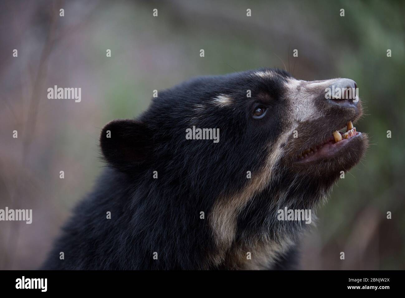 Spectacled bear (Tremarctos ornatus) Chaparri Ecological Reserve, Peru Stock Photo
