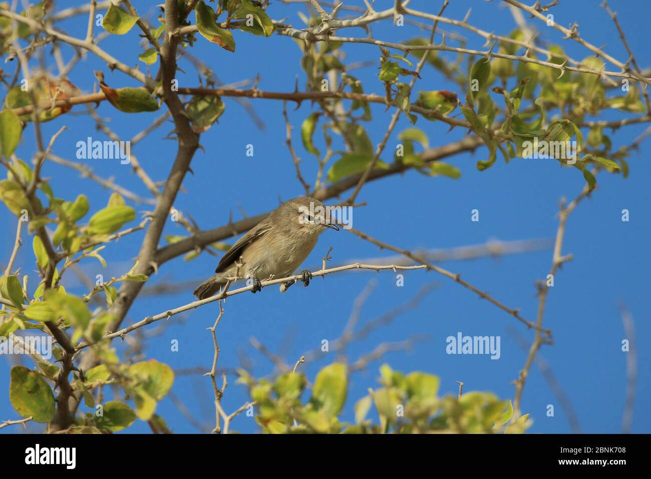 Plain leaf warbler (Phylloscopus neglectus) Oman, October Stock Photo