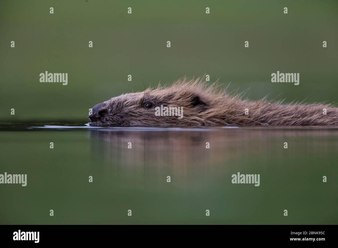 European beaver (Castor fiber) beaver swimming, Knapdale, Argyll and Bute, Scotland, UK, July. Stock Photo