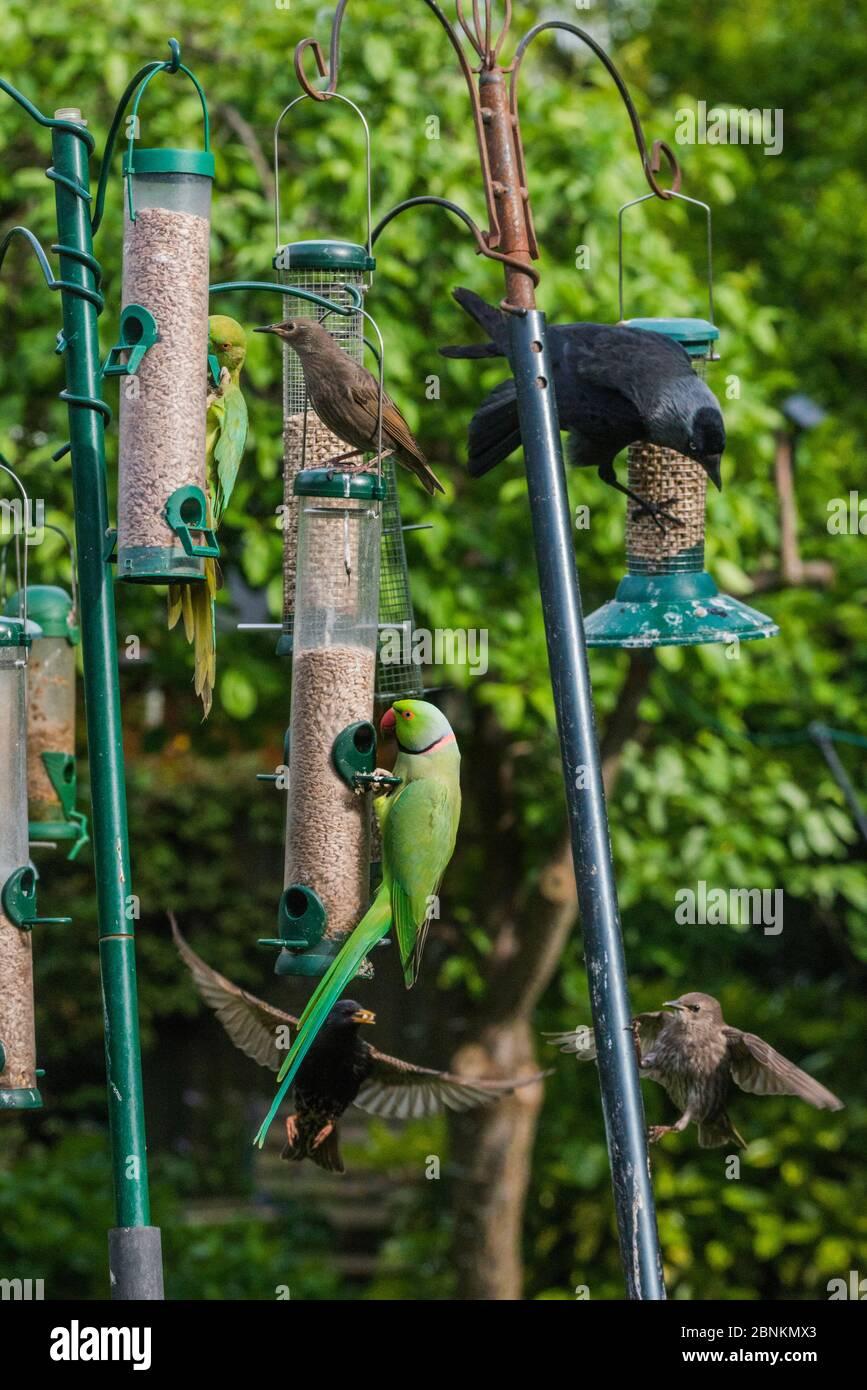 Rose-ringed / Ring-necked  parakeet (Psittacula krameri) with fledgling Starlings (Sturnus vulgaris) and  Jackdaw (Corvus monedula) on bird feeders. L Stock Photo