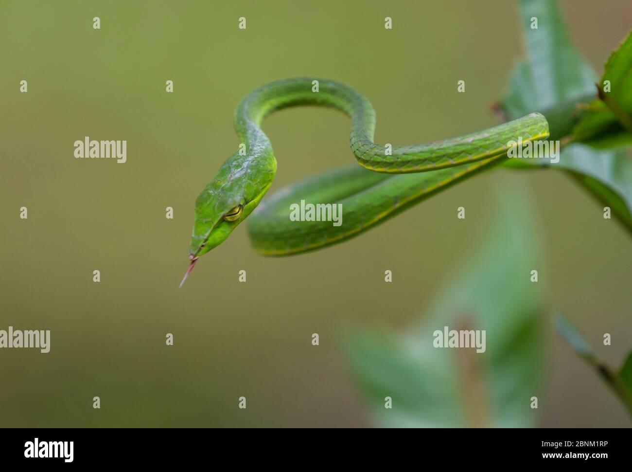 Green vine snake (Aheatulla nasuta), Agumbe, Karnataka, India. Stock Photo