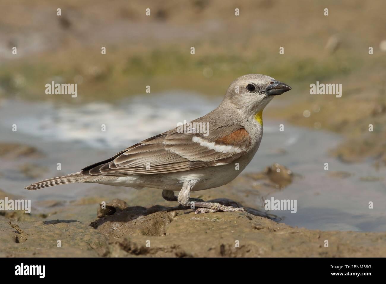 Yellow throated sparrow (Gymnoris xanthocollis) male at water, Oman, April Stock Photo