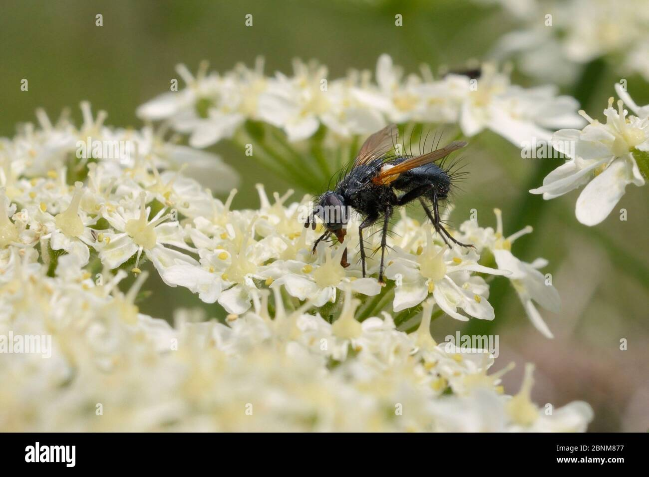 Parasite fly / Tachinid fly (Zophomyia temula), a nationally scarce species, feeding on Common hogweed (Heracleum sphondylium) on grassland meadow cle Stock Photo