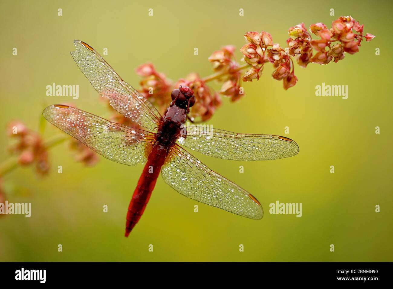 Male Scarlet dragonfly (Crocothemis erythraea) covered in dew, La Brenne Regional Natural Park, France, June. Stock Photo