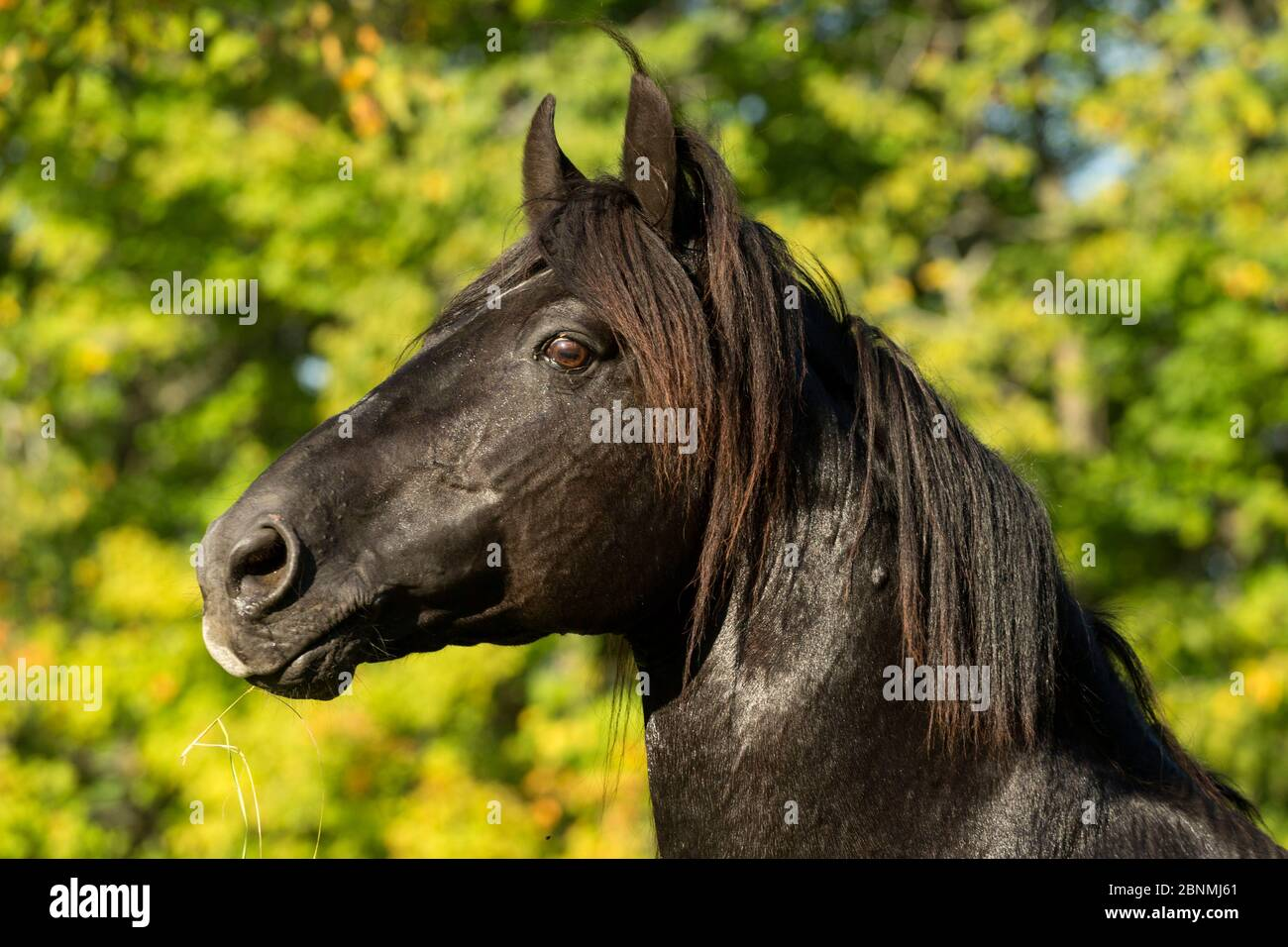 Portrait Of Ferari A Canadian Horse Stallion Multi Champion Cumberland Ontario Canada Critically Endangered Horse Breed Stock Photo Alamy