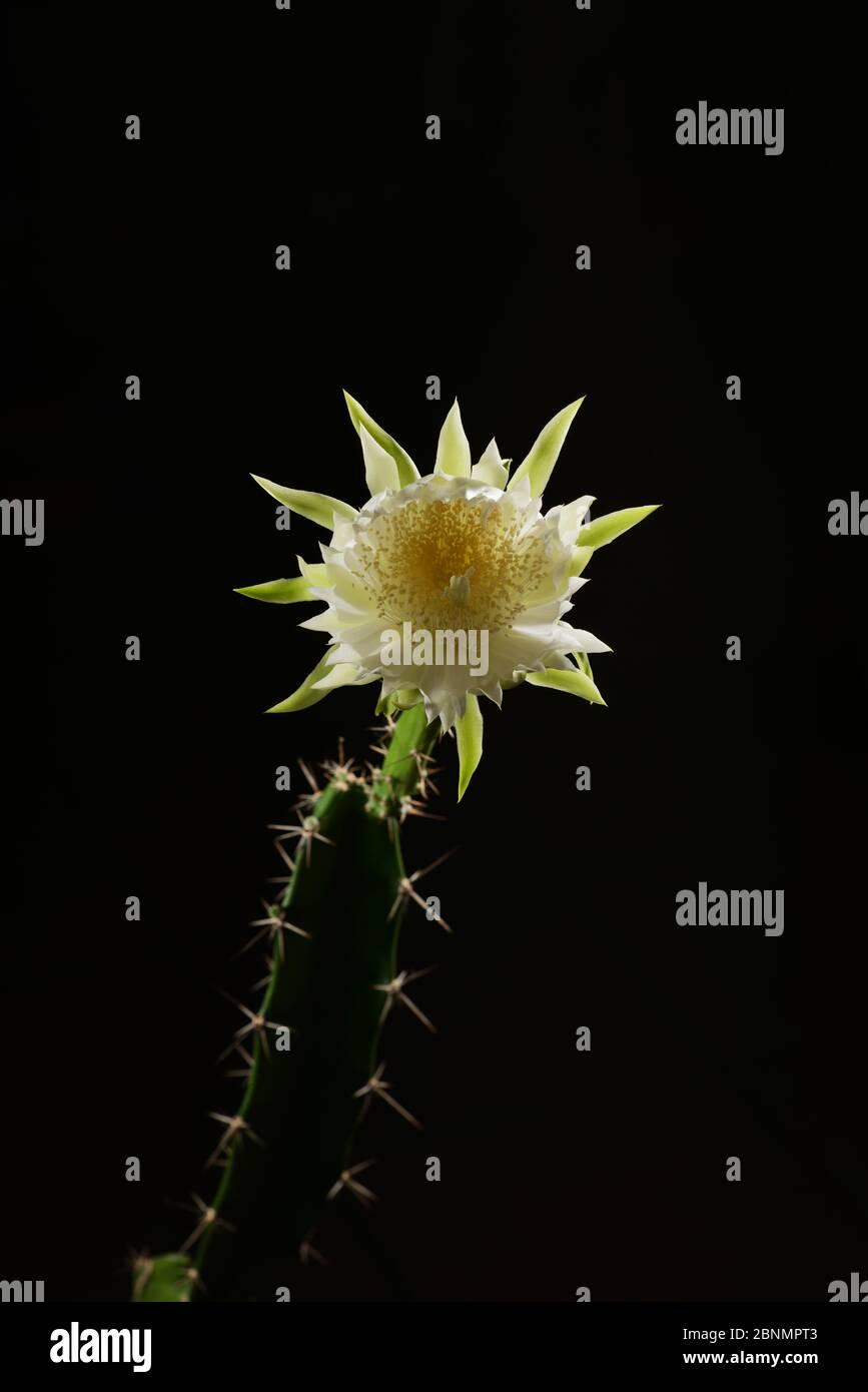 Night-blooming cereus cactus (Acanthocereus tetragonus), flower bud opening at night, Texas, USA. Sequence 4 of 7. August Stock Photo