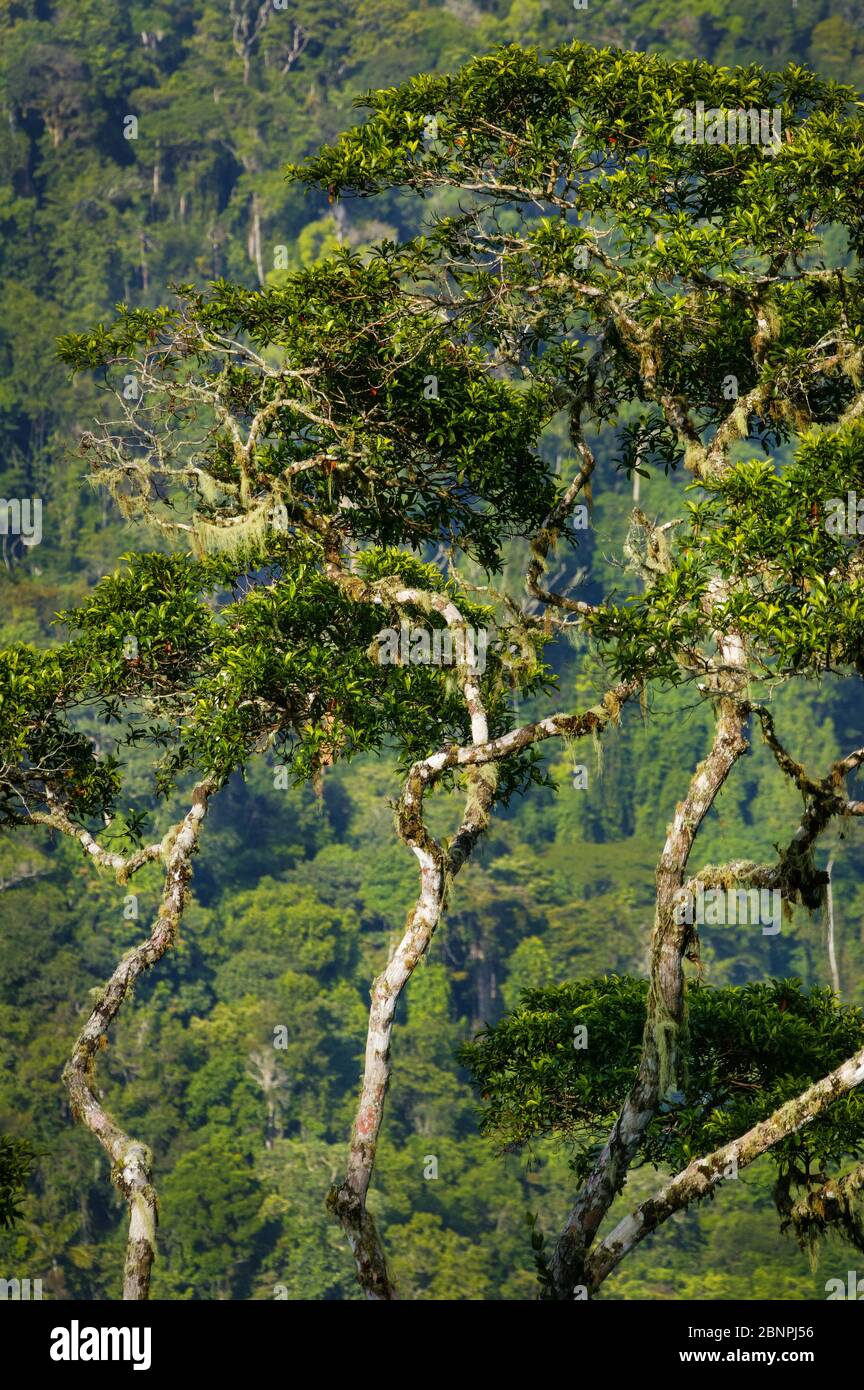 Beautiful rainforest trees at Cerro Pirre, Darien national park, Darien province, Republic of Panama. Stock Photo