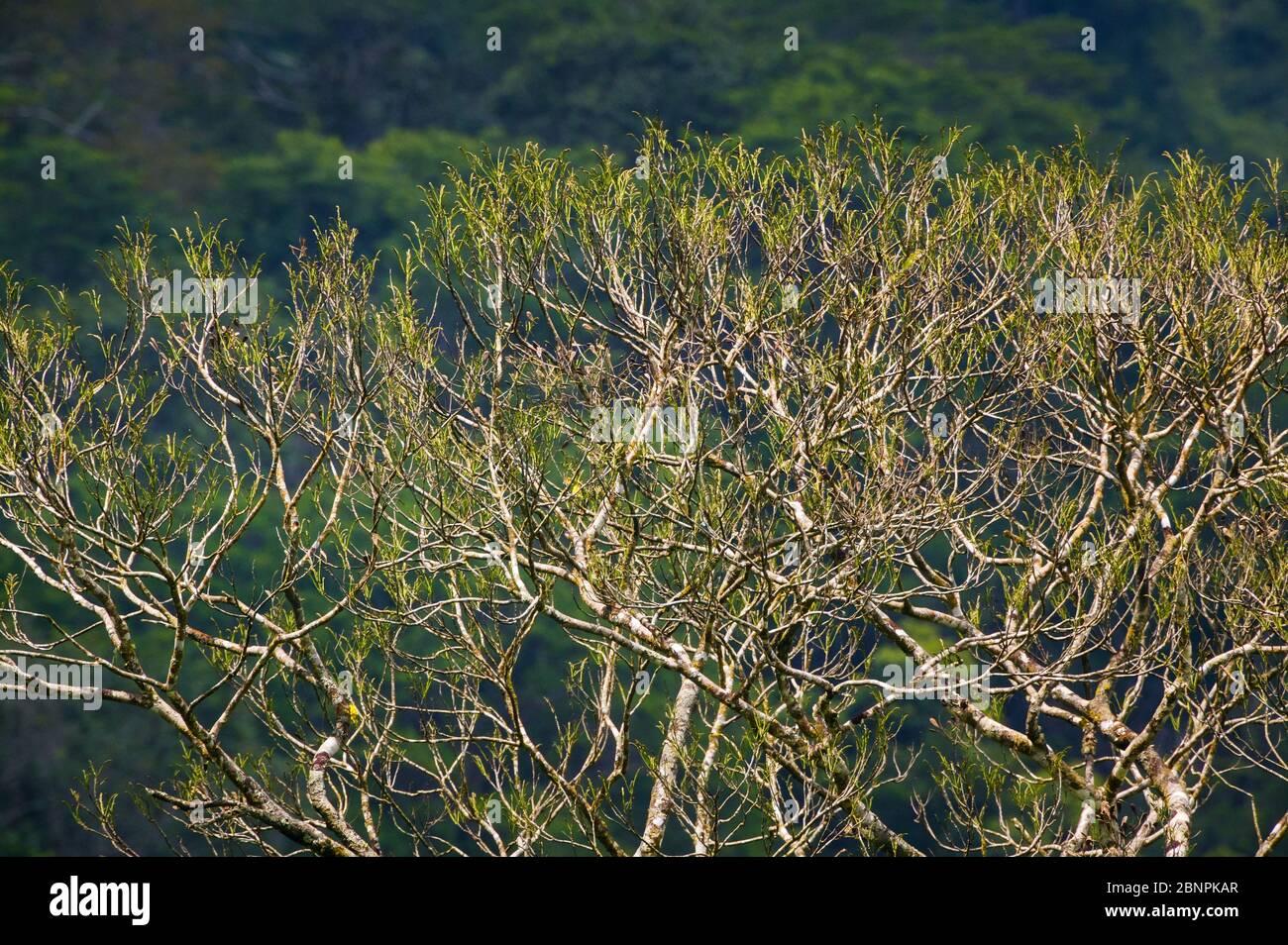 Beautful tree canopy in the rainforest at Cana field station, Darien national park, Darien province, Republic of Panama Stock Photo