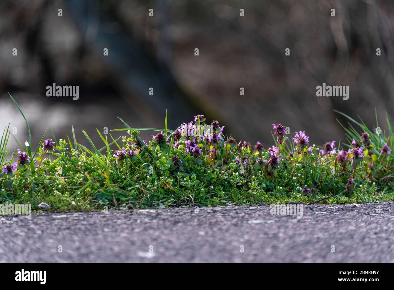Little Braunelle on the roadside, Prunella vulgaris Stock Photo
