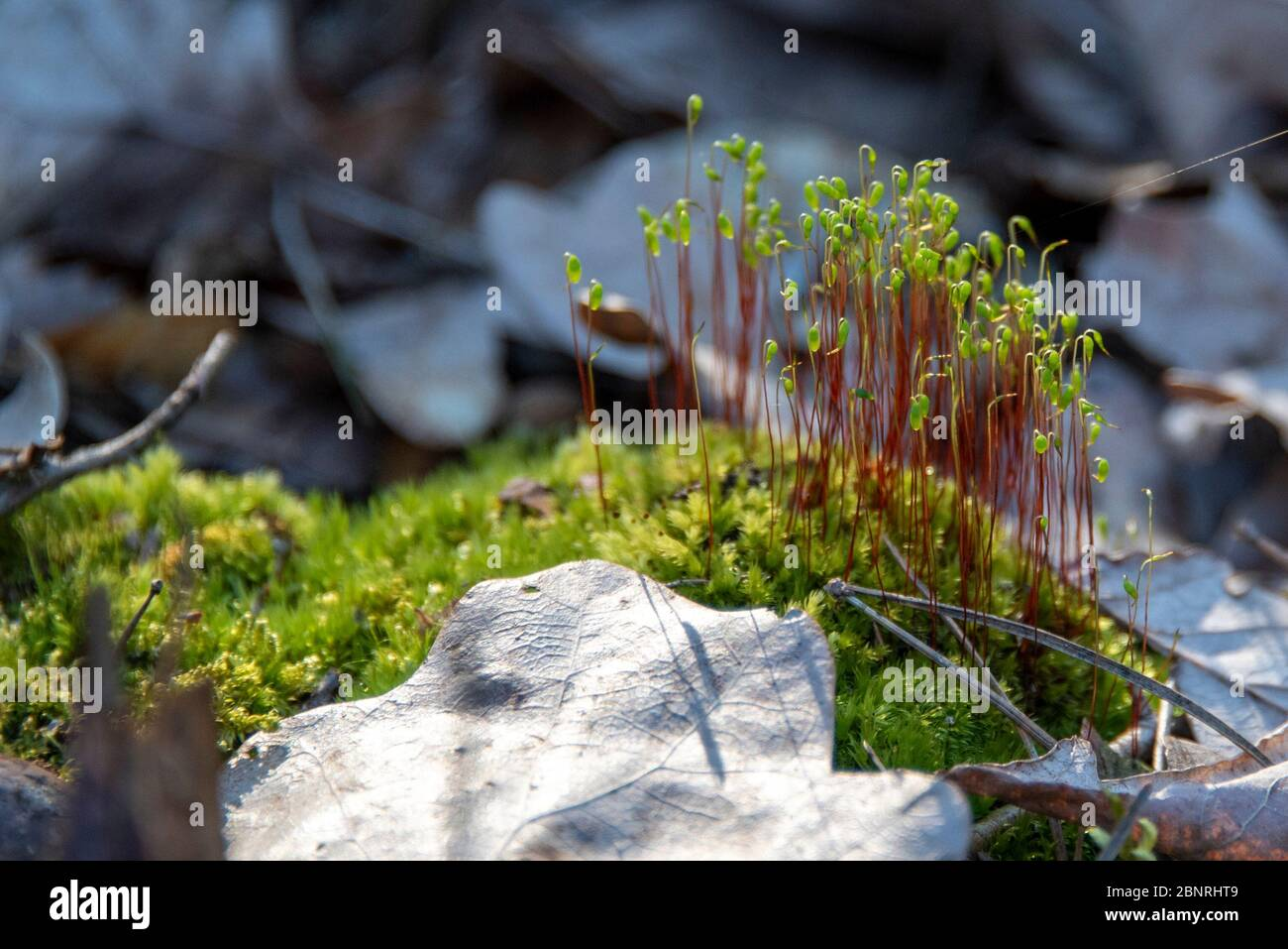 Sprouts sprout from a bed of moss Stock Photo