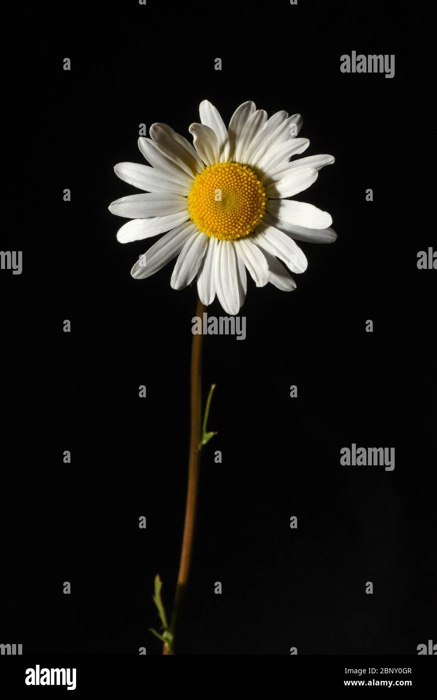 Still Life Of A Single White Daisy Flower Blossom With A Yellow Center And A Brown Stem With Leaves Against A Black Background Stock Photo Alamy Daisy brown provides examples of: https www alamy com still life of a single white daisy flower blossom with a yellow center and a brown stem with leaves against a black background image357708311 html