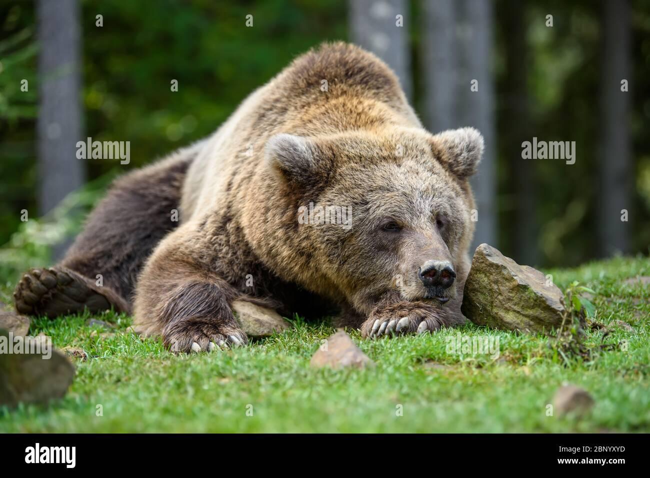 Close-up sleep brown bear portrait. Danger animal in nature habitat. Big mammal. Wildlife scene Stock Photo