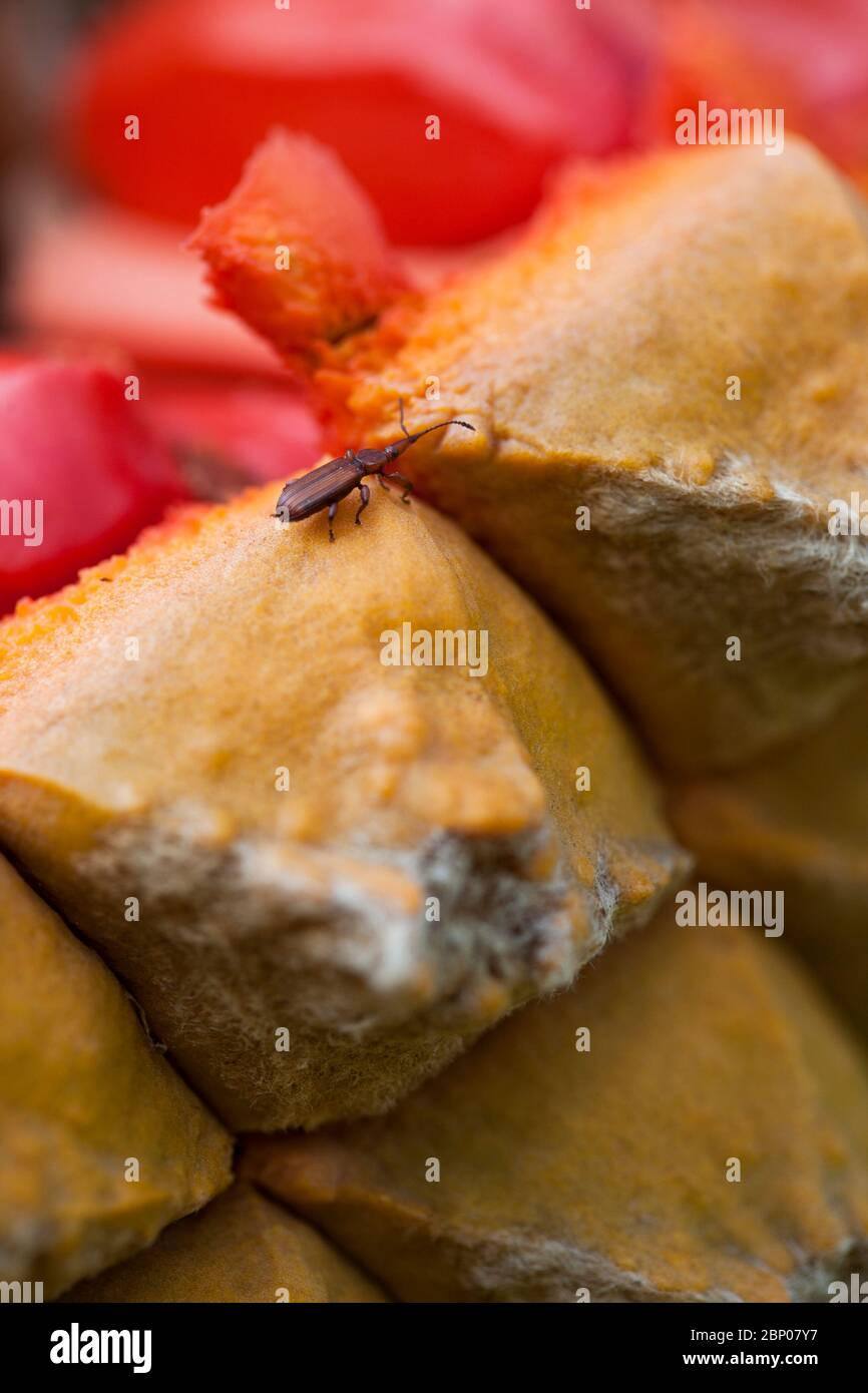 A close-up of a cycad strobilus with bright red sarcotesta on an Encephalartos species with a female Cycad Weevil is visible on one of the scales. Stock Photo