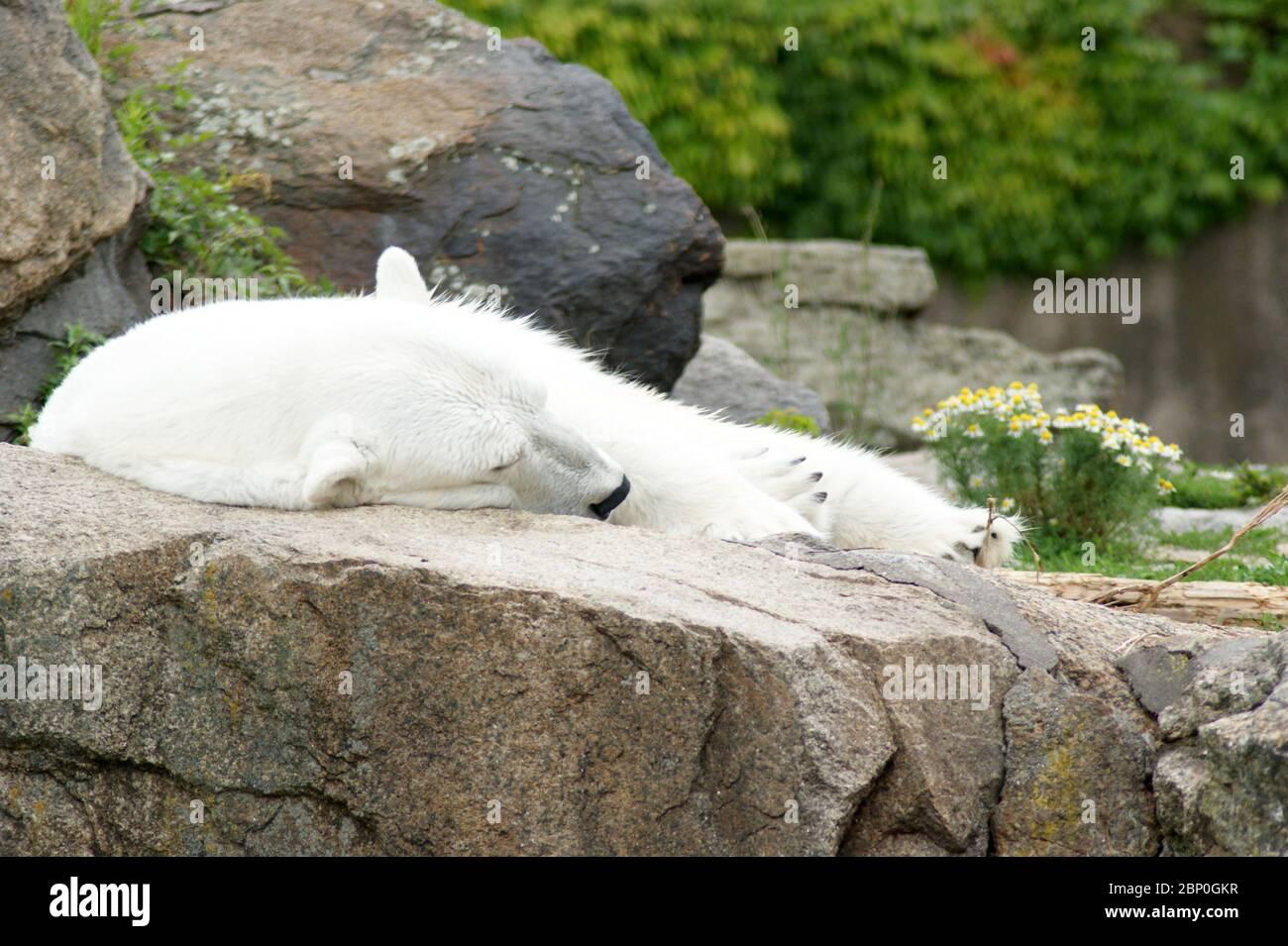 Schlafender Eisbär; sleeping polar bear Stock Photo