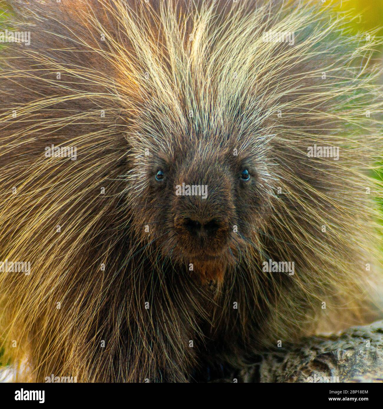 Porcupine Looking at the Camera Stock Photo
