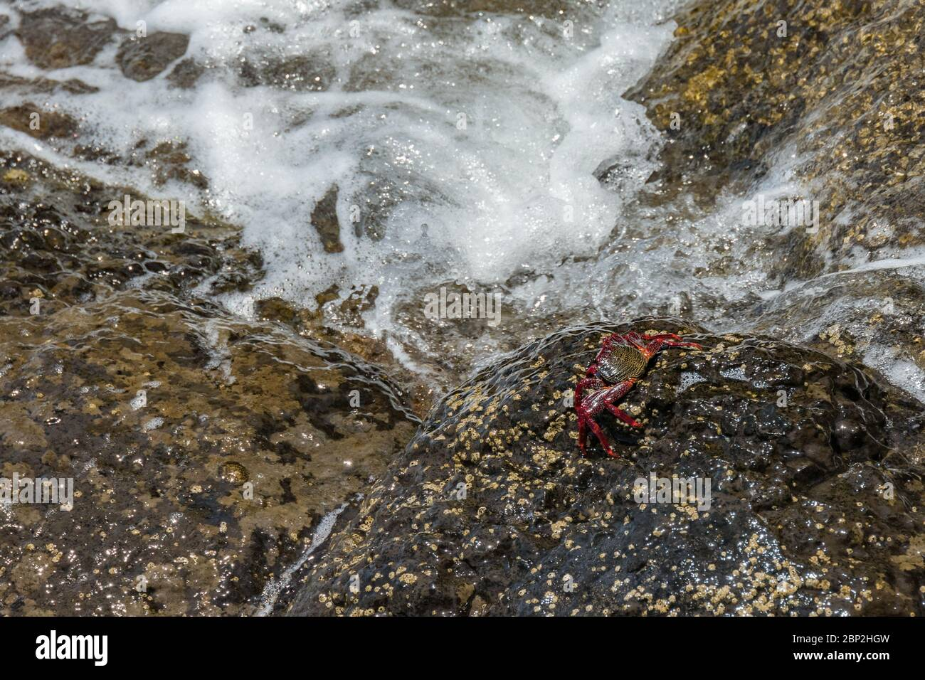 Red rock crab - Grapsus adscensionis - crawling on wet lava stones close to the sea to bask in the sun. Southern ocean shore of Tenerife, Canary Islan Stock Photo
