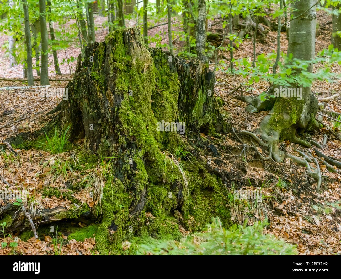 Stunning Spring Green nature color in forest tree trunk with roots Stock Photo