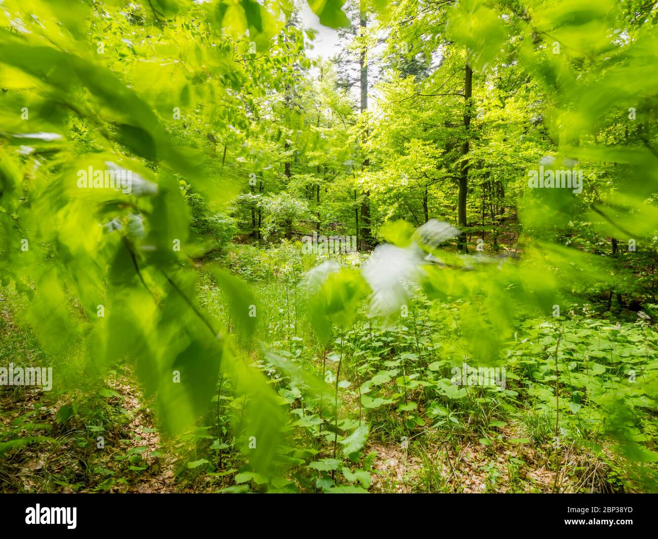 Stunning Spring Green nature color in forest windy movements movement moving leaves tree branches view through leaves Stock Photo