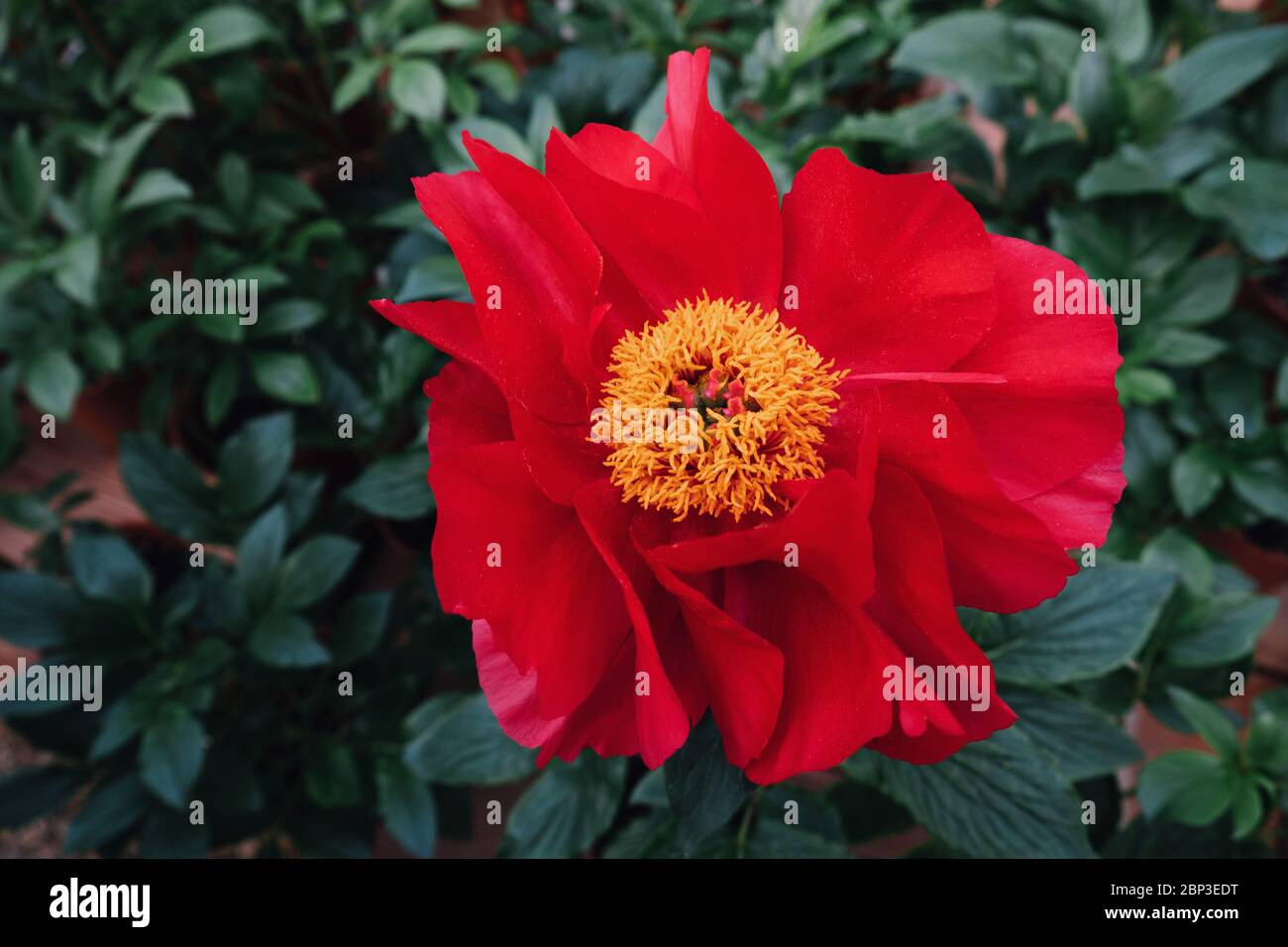 Beautiful fresh scarlet red peony flower in full bloom in the garden. Stock Photo