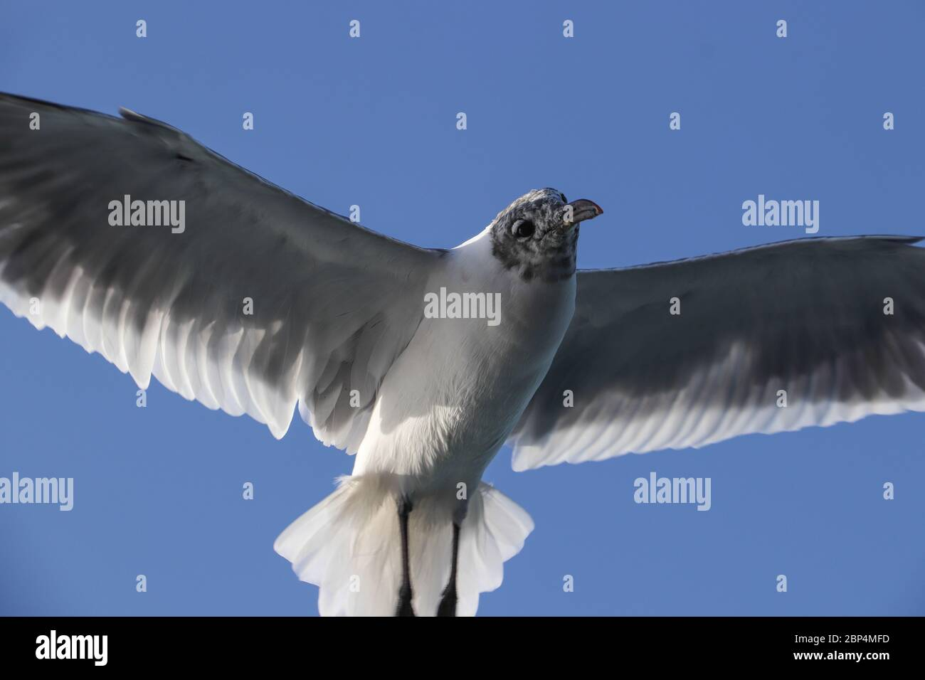 Laughing Gull (Leucophaeus atricilla) hovering overhead as it follows a boat, waiting for a handout. White underneath, winter plumage, graceful. Stock Photo