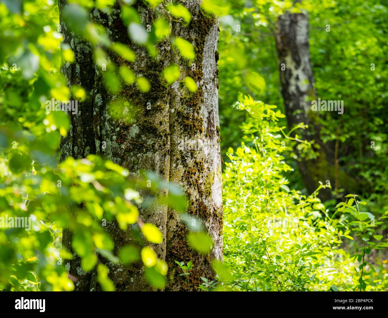 Stunning Spring Green nature color in forest tree trunk isolated in focus view through leaves Stock Photo