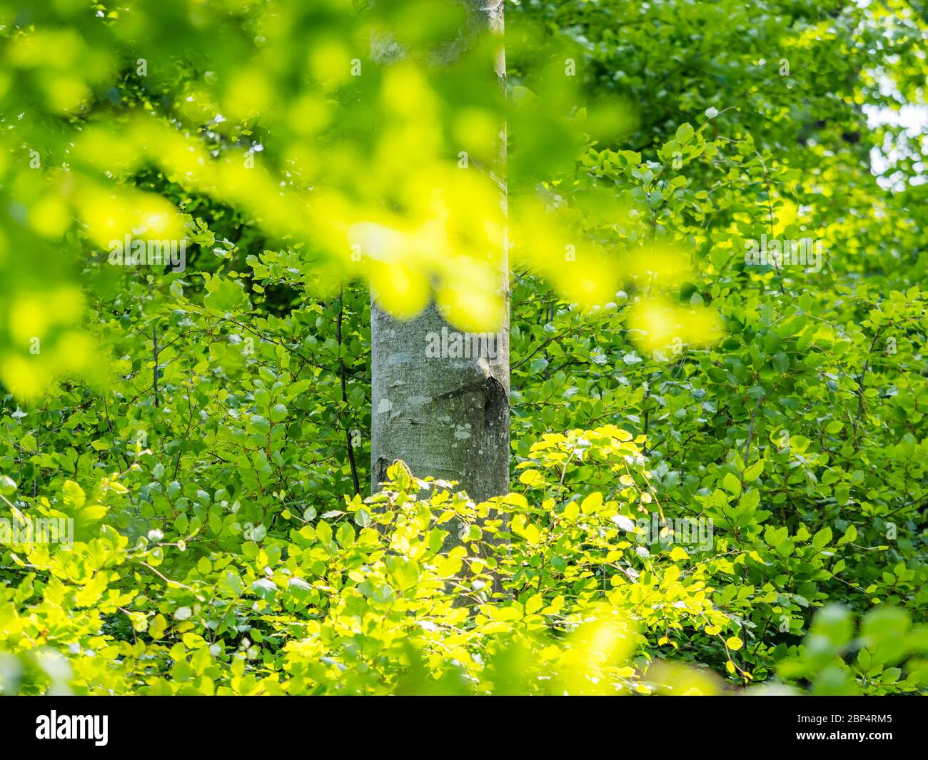 Stunning Spring Green nature color in forest tree trunk isolated in focus with bright leaves in front before Stock Photo