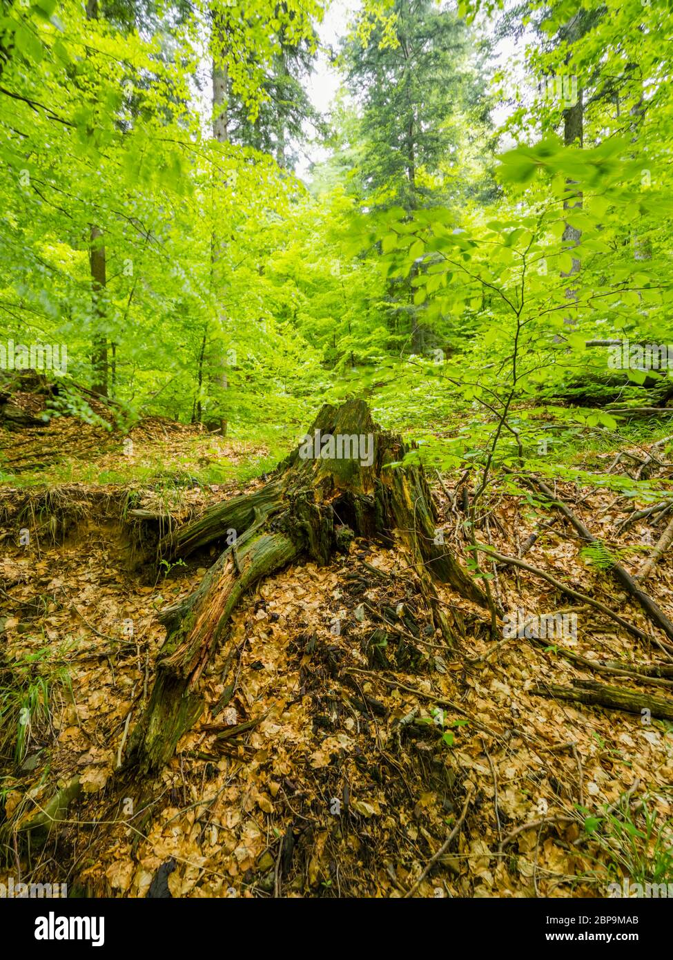Stunning Spring Green nature color in forest tree root Stock Photo