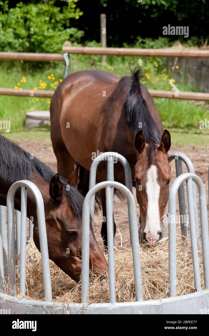 braune Holsteiner Pferde stehen an einer Heuraufe und fressen Heu Stock Photo