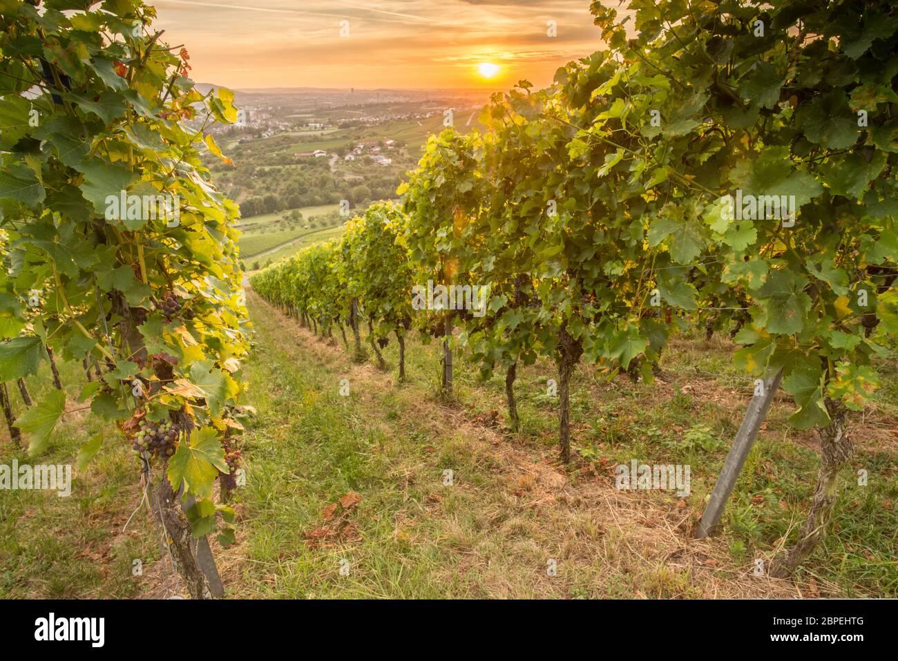 Weinreben und Weintrauben im Weinberg im Sonnenuntergang Stock Photo