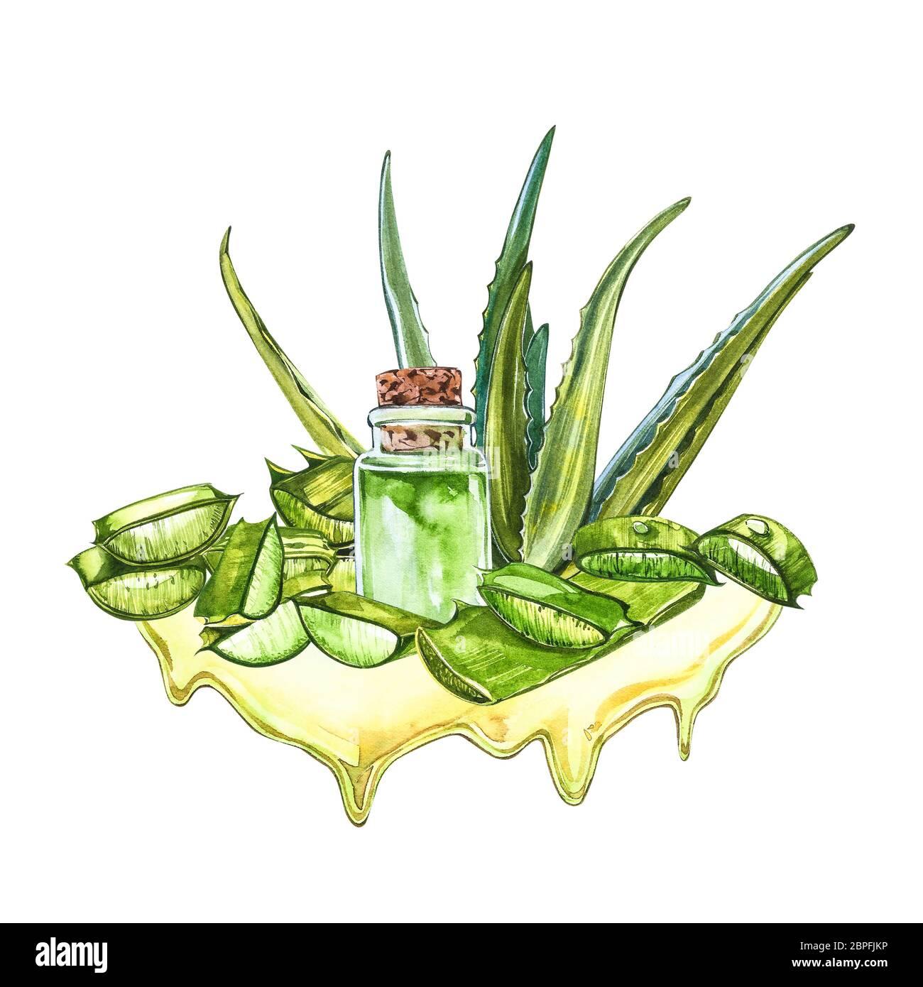 Aloe vera. Watercolor succulent aloe. Green plant, watercolor hand ...