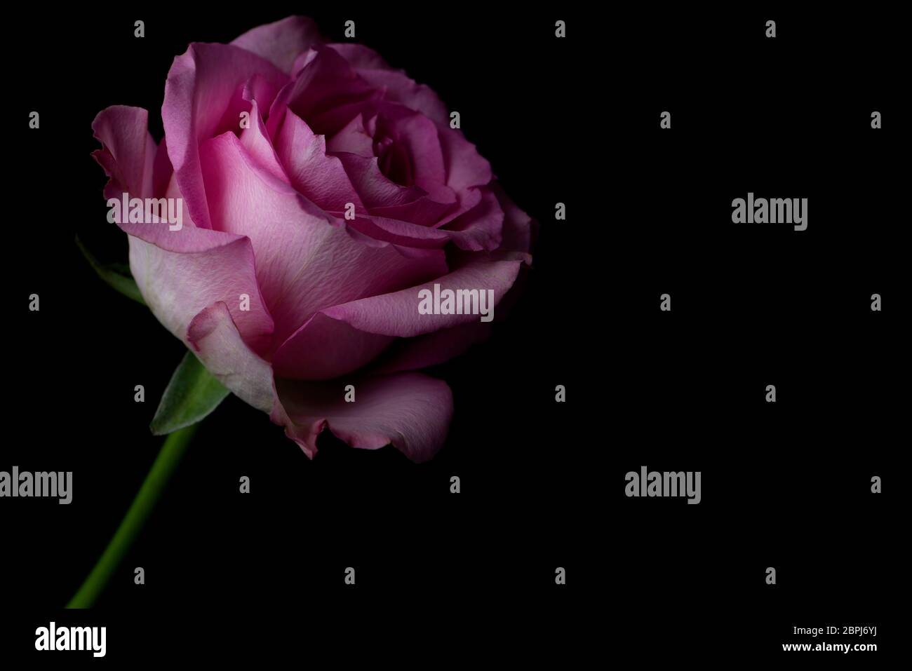 Light Pink Rose Black Background High Resolution Stock Photography And Images Alamy