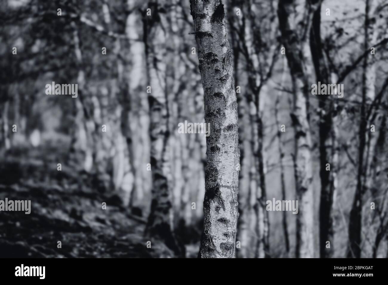Birkenallee im Moor in einer Detailaufnahme - schwarz weiß Stock Photo