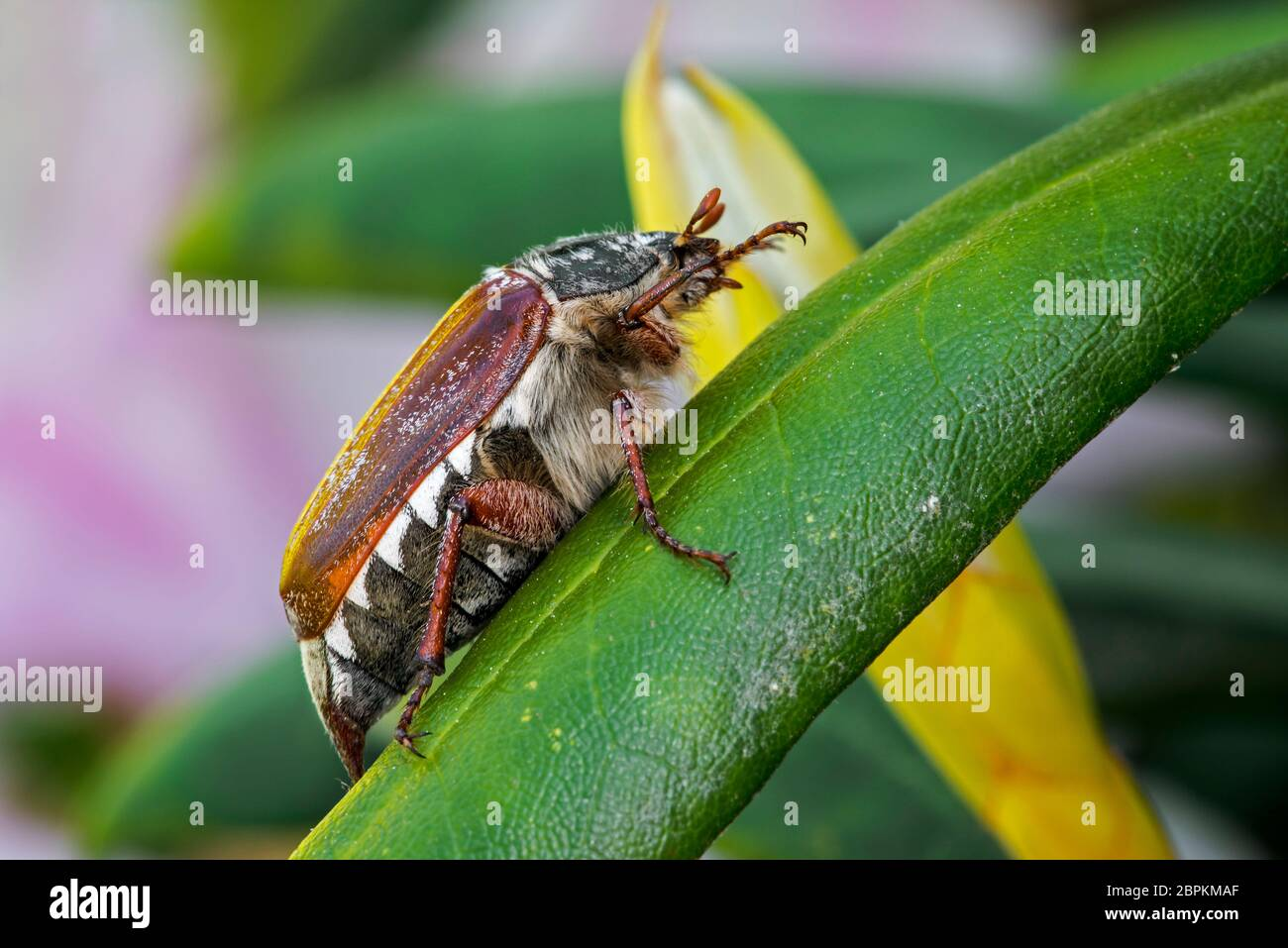 Common cockchafer / Maybug (Melolontha melolontha) on plant leaf in garden in spring Stock Photo