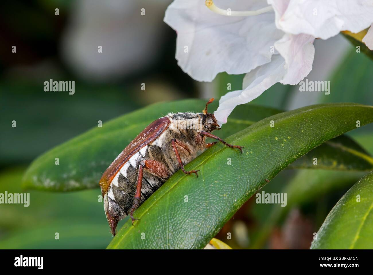 Common cockchafer / Maybug (Melolontha melolontha) on leaf of rhododendron in flower in garden in spring Stock Photo