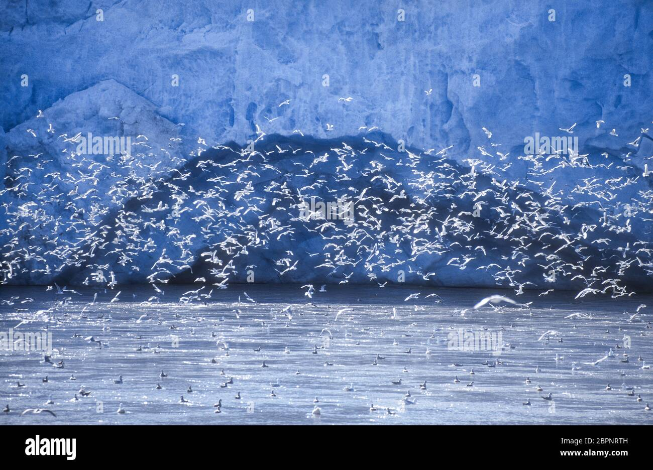 Kittiwakes; Glaciers; Svalbard Stock Photo