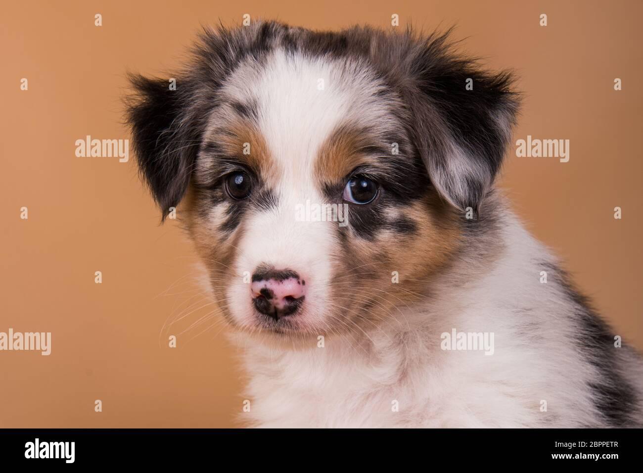 Red Merle Australian Shepherd puppy, six weeks old Stock Photo