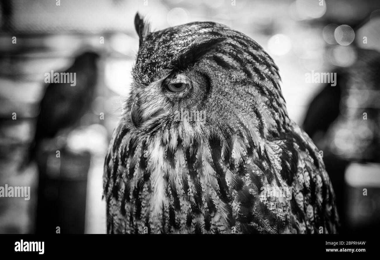 Spectacled Owl (Pulsatrix perspicillata)   Owl bird, Beautiful owl, Owl cat