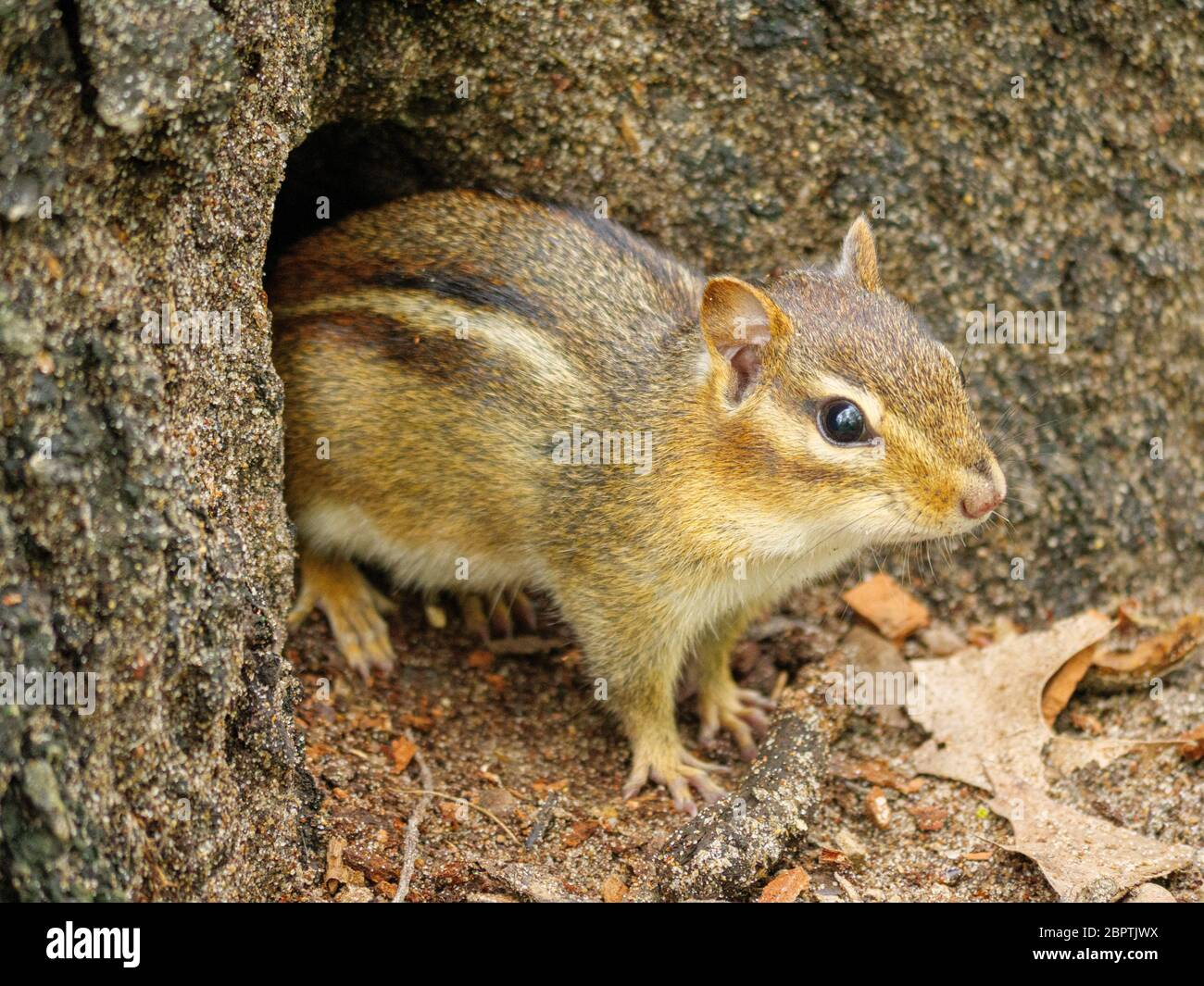 An eastern chipmunk emerges from its hole at the base of a tree. Thatcher Woods Forest Preserve, Cook County, Illinois. Stock Photo