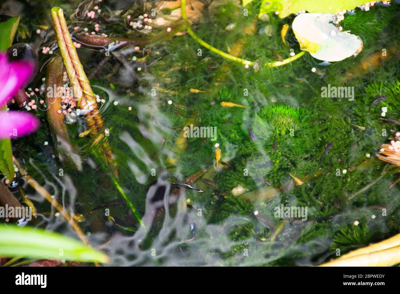 Guppy Fishes Or Millionfish And Rainbow Fish Swimming In Water And Eating Food And Lotus Plant In Fish Claypot At Small Garden In Nonthaburi Thailand Stock Photo Alamy