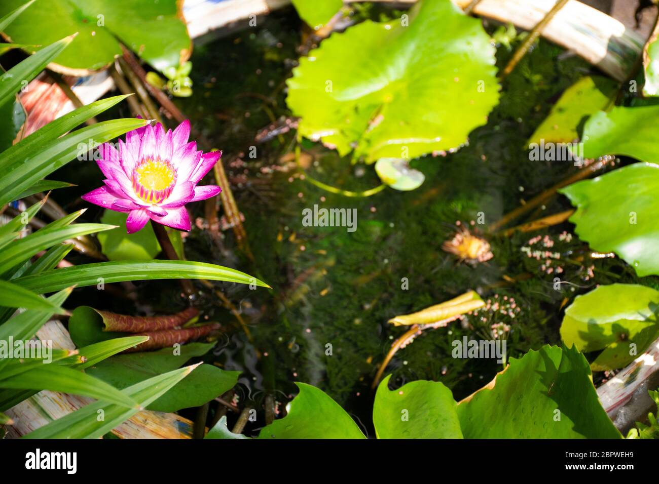 Guppy fishes or millionfish and rainbow fish swimming in water and eating food and lotus plant in fish claypot at small garden in Nonthaburi, Thailand Stock Photo