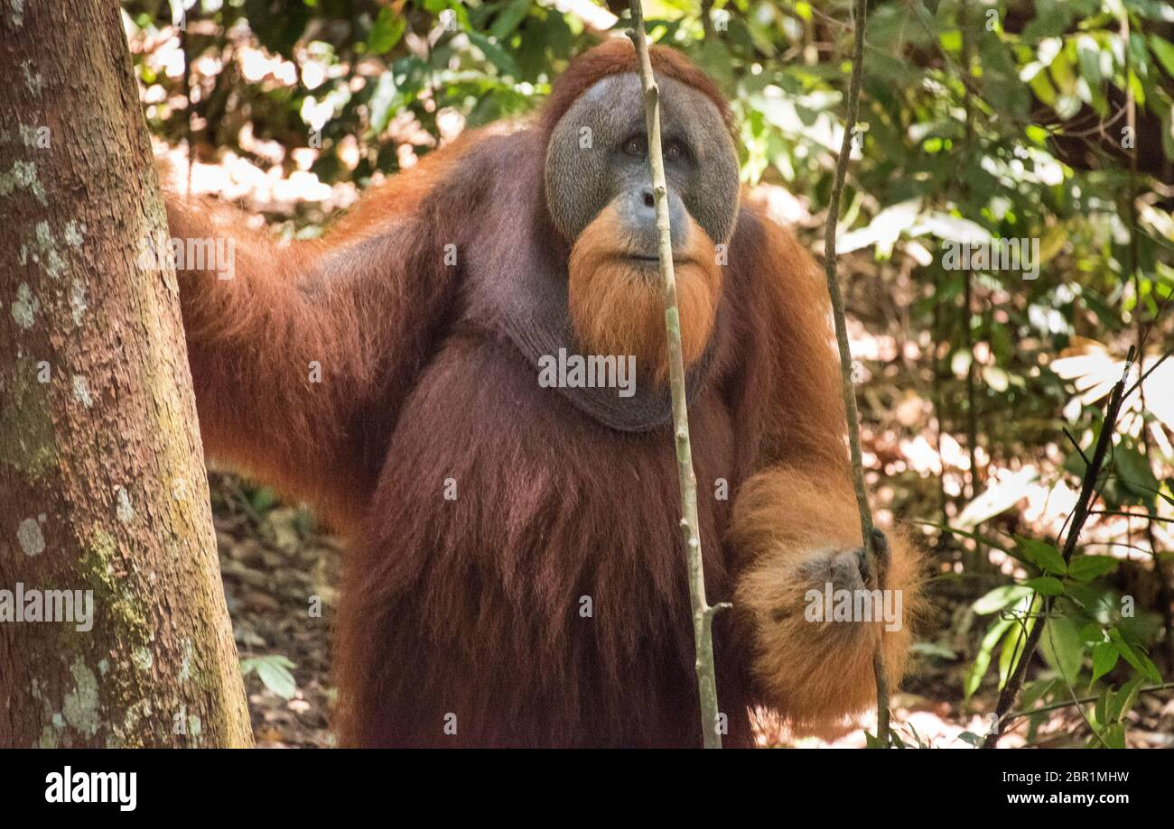 Orangutan Standing High Resolution Stock Photography and Images - Alamy
