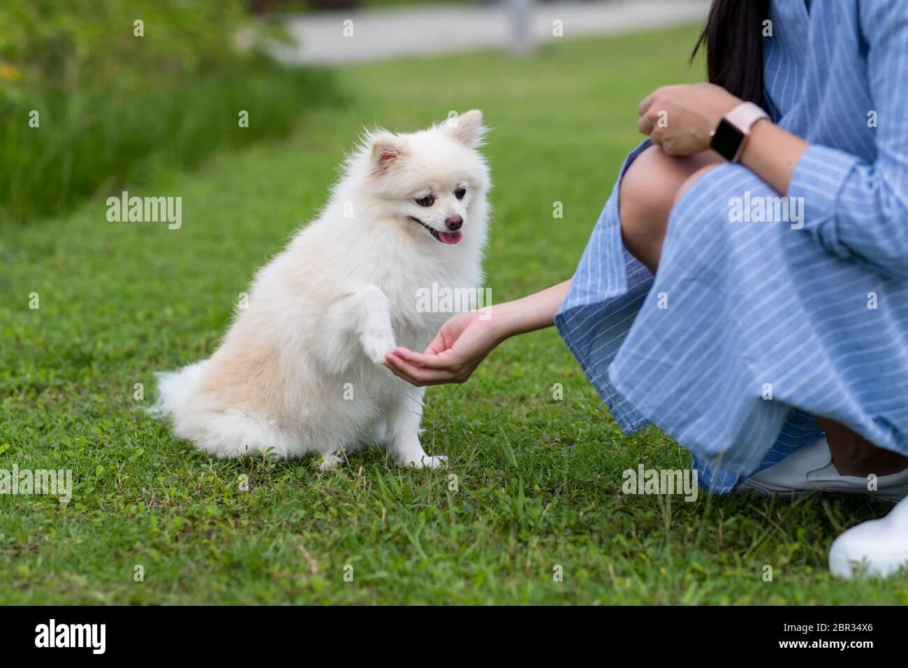 Woman Train On White Pomeranian Dog In The Park Stock Photo Alamy