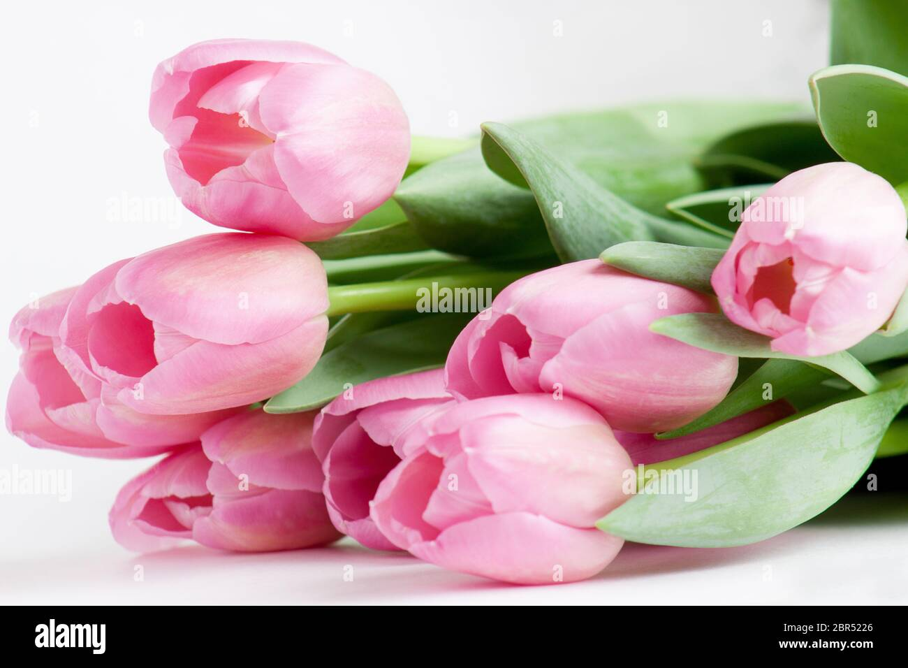 Group of pink tulips are lying on white background. Live nature. Stock Photo