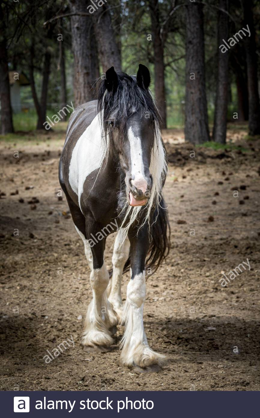 A Large Black And White Draft Horse Stands In A Field In Athol Idaho Stock Photo Alamy
