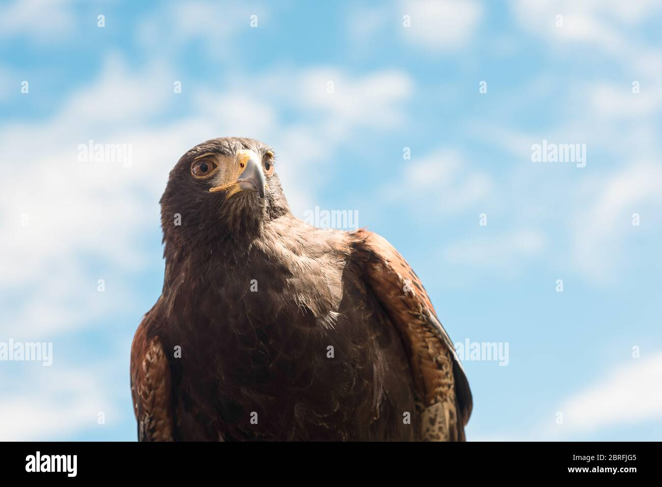 Close-up of a stunning Harris's hawk observing the world with his hazel colored eyes against a blue sky background. Stock Photo