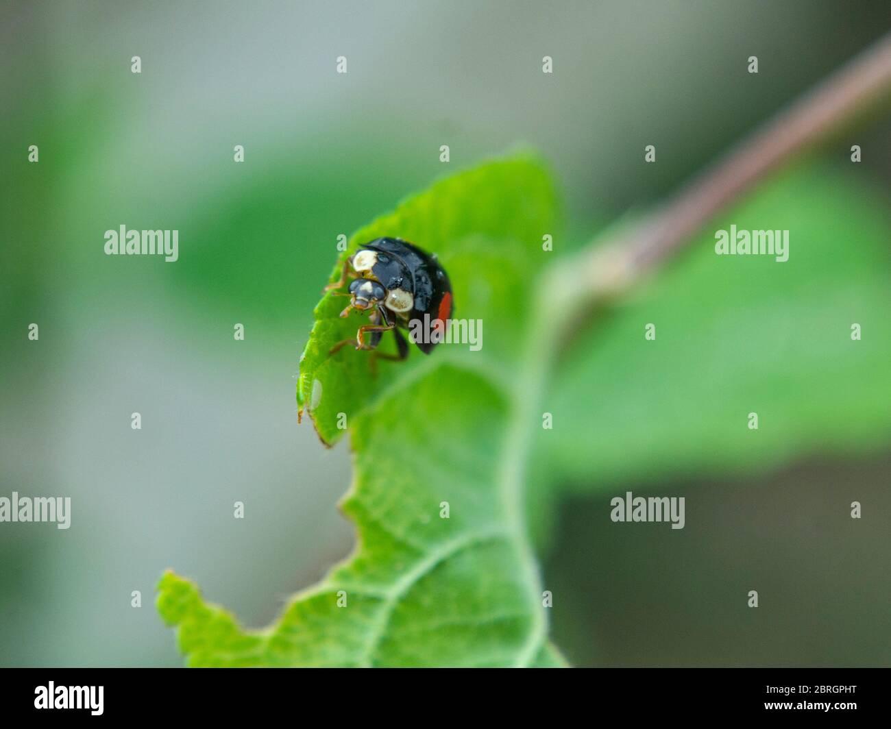 Asian ladybeetle on leaf,  Harmonia axyridis, Harlequin ladybird Stock Photo